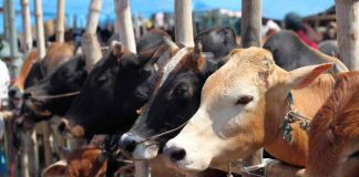 import cattle
